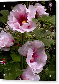 Rose Pink Hollyhocks Acrylic Print