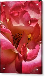 Rose Splendor Acrylic Print by Sandy Fisher