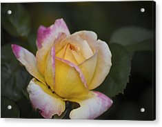 Rose With Pink Tips Acrylic Print