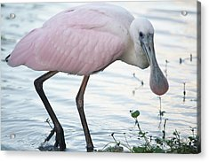 Roseate Spoonbill 3 Acrylic Print by Andrea  OConnell