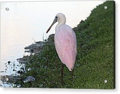 Roseate Spoonbill 4 Acrylic Print by Andrea  OConnell