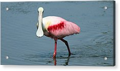 Roseate Spoonbill Acrylic Print by Wild Expressions Photography