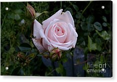 Roses In Bloom Acrylic Print by Garnett  Jaeger