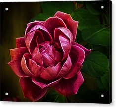 Rosy Pink Acrylic Print by Bill Tiepelman