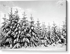 Row Of Evergreen Trees Are Laden With Snow Acrylic Print by Gail Shotlander
