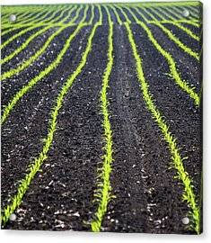 Rows Of Maize Seeds Acrylic Print by Baerbel Wilm