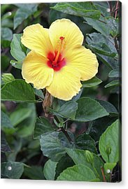 Acrylic Print featuring the photograph Royal Hibiscus by Craig Wood