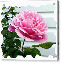 Royal Kate Rose Acrylic Print by Will Borden