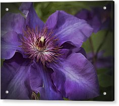 Royal Purple Jackmanii Clematis Blossom Acrylic Print by Kathy Clark