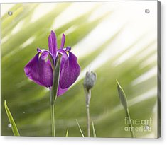 Purple Japanese Water Iris Acrylic Print
