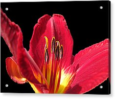 Acrylic Print featuring the photograph Royal Red by Debbie Portwood