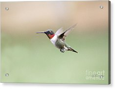 Ruby Hummer In Georgia Acrylic Print by Cris Hayes