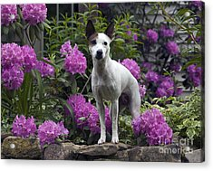 Ruby In The Garden Acrylic Print by Denise Dempster
