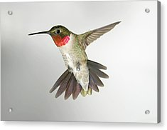Ruby Throat Hummingbird Acrylic Print by Gregory Scott