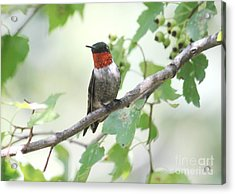 Ruby Throat Acrylic Print by Theresa Willingham