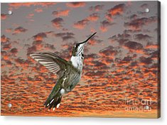 Ruby Throated Hummer Acrylic Print by Cris Hayes