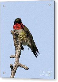 Ruby-throated Hummingbird Acrylic Print by Deborah  Smith
