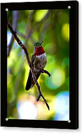 Acrylic Print featuring the photograph Ruby Throated Hummingbird by Susanne Still