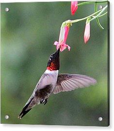 Ruby Throated Hummingbird1 Acrylic Print