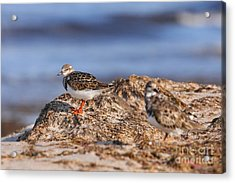 Acrylic Print featuring the photograph Ruddy Turnstone  by Jennifer Zelik