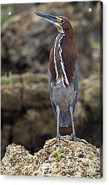 Rufescent Tiger Heron Acrylic Print by Tony Camacho