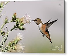 Rufous Hummingbird Acrylic Print by Doug Herr