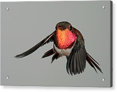 Acrylic Print featuring the photograph Rufous Hummingbird Downstroke by Gregory Scott