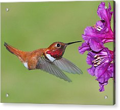 Acrylic Print featuring the photograph Rufous N Blooms by Jack Moskovita