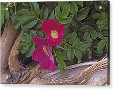 Rugosa Rose And Driftwood Acrylic Print