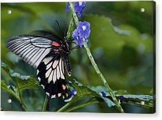 Rumanzovia Swallowtail-papilio Rumanzovia Female Acrylic Print