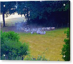 Running Of The Sheep Acrylic Print