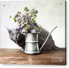 Russian Blue 03 Acrylic Print by Nailia Schwarz