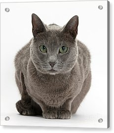 Russian Blue Cat Acrylic Print by Mark Taylor
