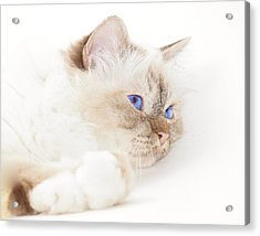 Sacred Cat Of Burma Acrylic Print