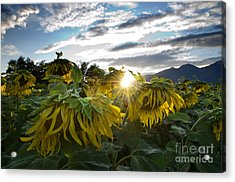 Sad Sunflowers Acrylic Print by Mats Silvan