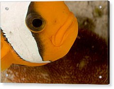 Saddleback Anemonefish Amphiprion Acrylic Print by Tim Laman