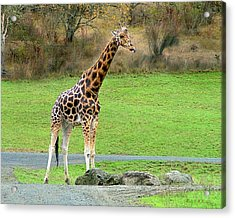 Acrylic Print featuring the photograph Safari Giraffe by Wendy McKennon