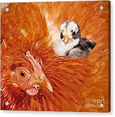 Safety Of Mama Hen Acrylic Print