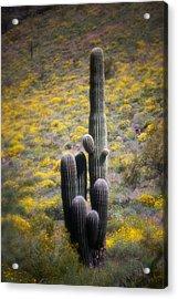 Saguaro Cactus In Springtime Wildflowers Acrylic Print by C Thomas Willard