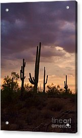 Saguaros After The Storm Acrylic Print by Patty Descalzi