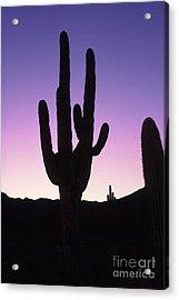 Saguro Cactus Acrylic Print by Barry Shaffer