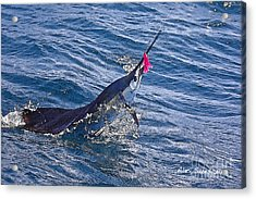 Sailfish Dance Acrylic Print by Alex Suescun
