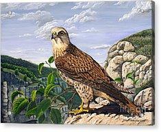 Saker Falcon Falco Cherrug Acrylic Print