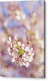 Sakura, Pink Cherry Blossom Tree Acrylic Print by Bonita Cooke