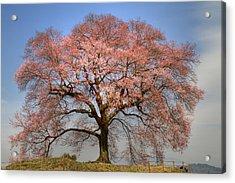 Sakura Sakura 1 Acrylic Print