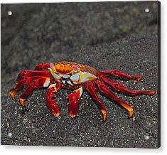 Sally Lightfoot Crab Acrylic Print by Tony Beck