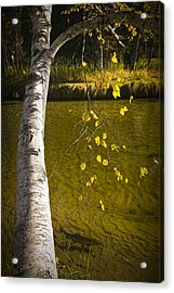 Salmon During The Fall Migration In The Little Manistee River In Michigan No. 0887 Acrylic Print