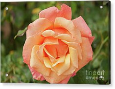 Salmon Rose Acrylic Print