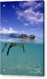 Salt Water Crocodile Acrylic Print by Franco Banfi and Photo Researchers