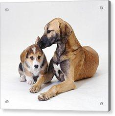 Saluki Lurcher And Corgi Puppy Acrylic Print by Jane Burton